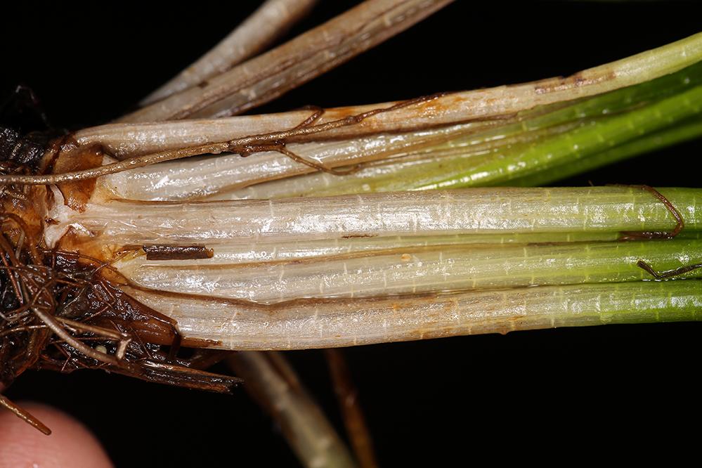 Isoetes occidentalis