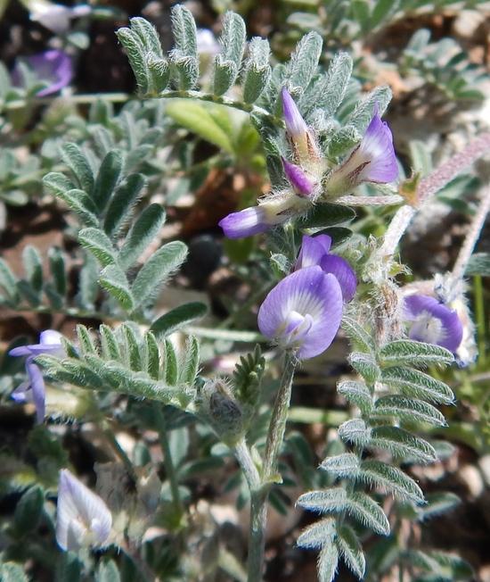 Astragalus nuttallianus var. austrinus