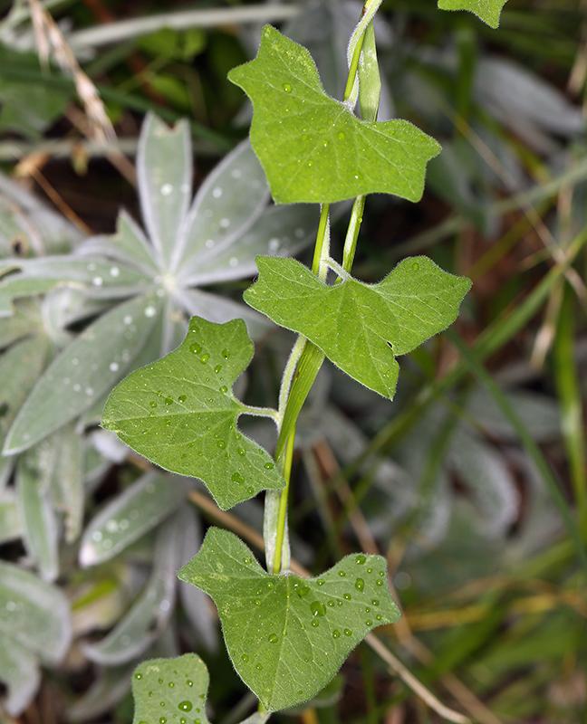 Calystegia malacophylla ssp. malacophylla