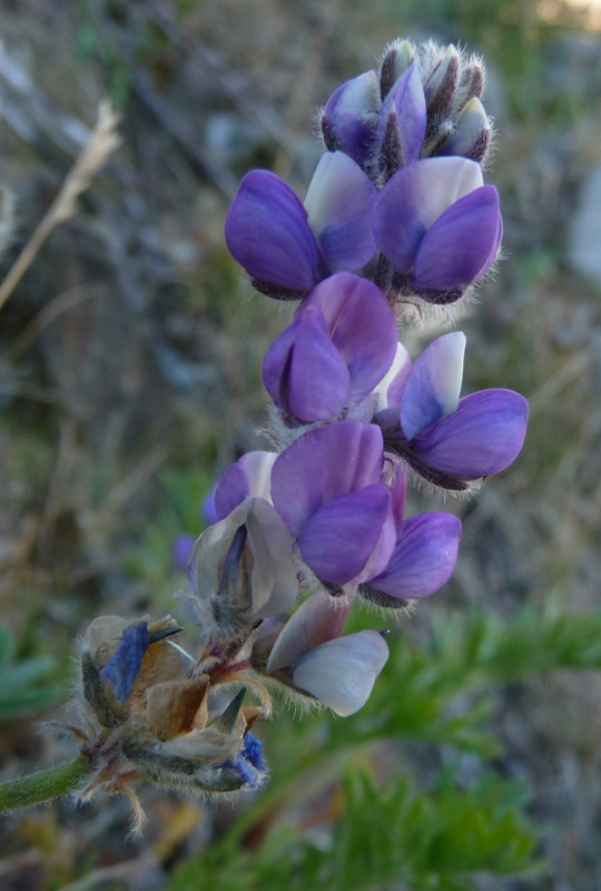 Lupinus lepidus var. culbertsonii