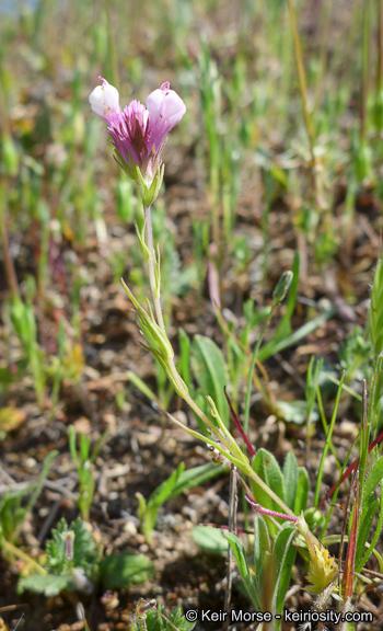 Castilleja densiflora ssp. gracilis