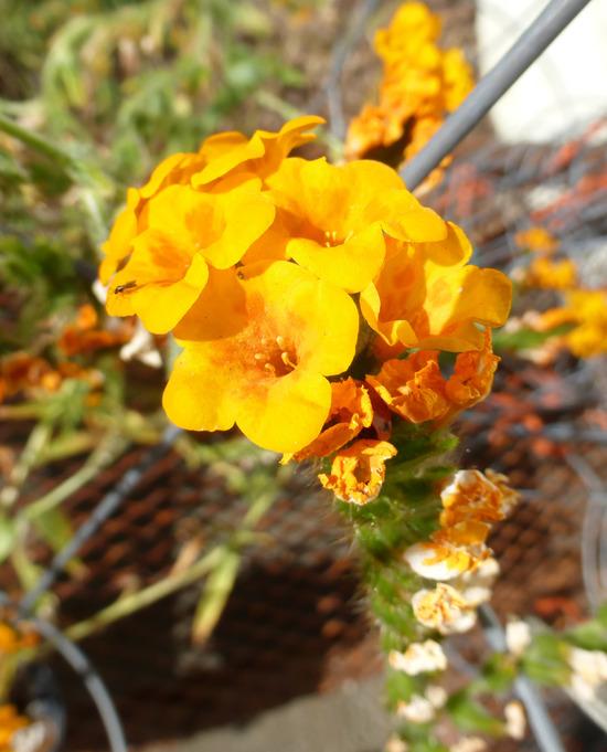 Amsinckia grandiflora