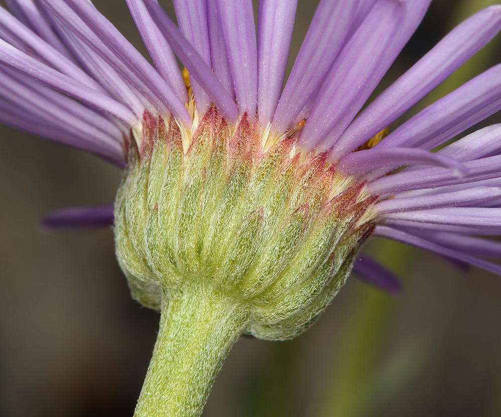 Erigeron argentatus