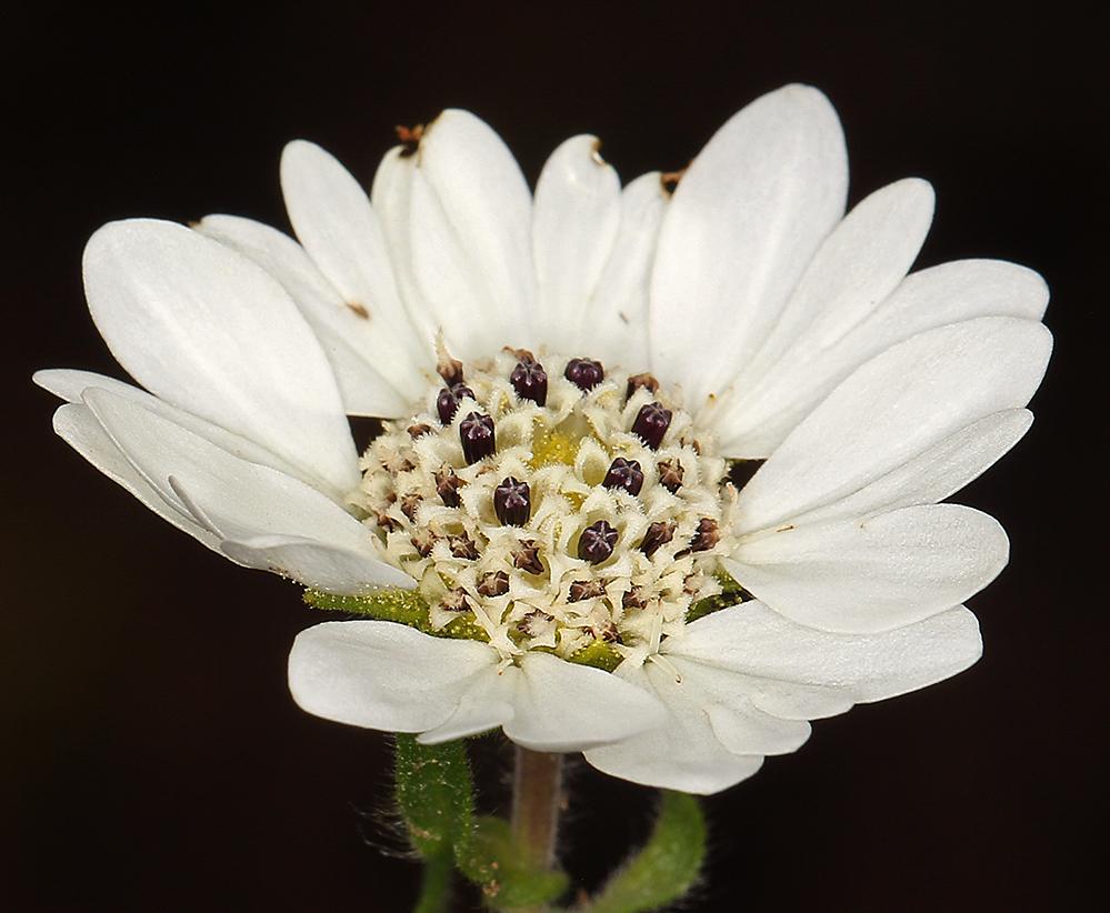 Hemizonia congesta ssp. tracyi
