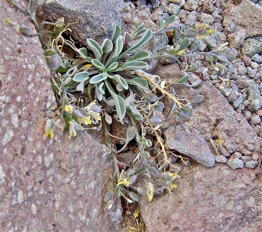 Physaria occidentalis