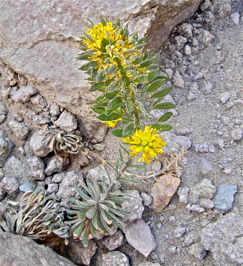 Physaria occidentalis ssp. occidentalis