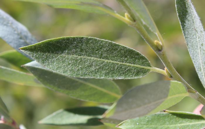 Salix brachycarpa var. brachycarpa