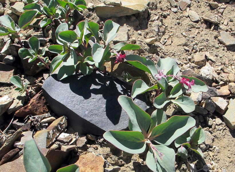 Cycladenia humilis var. jonesii