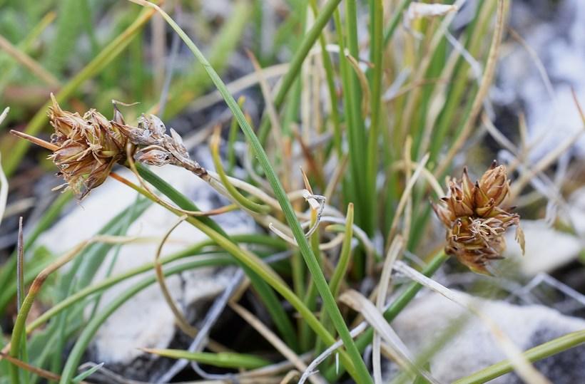 Carex incurviformis