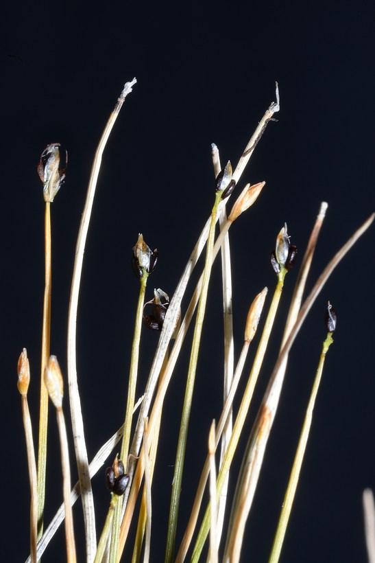 Trichophorum pumilum