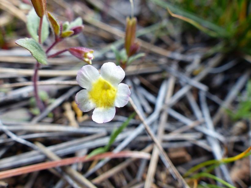Erythranthe trinitiensis