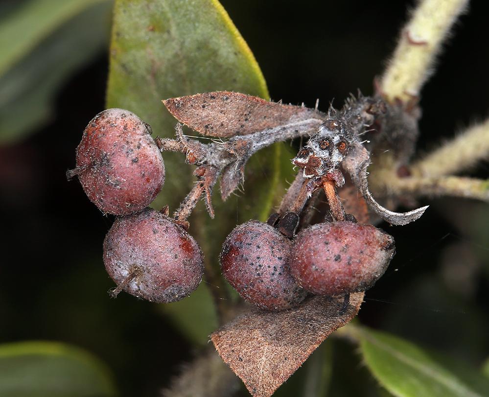 Arctostaphylos nortensis