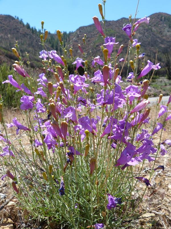 Penstemon heterophyllus var. australis