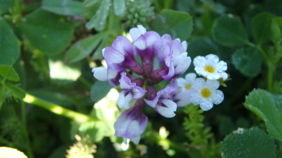 Astragalus tener var. ferrisiae