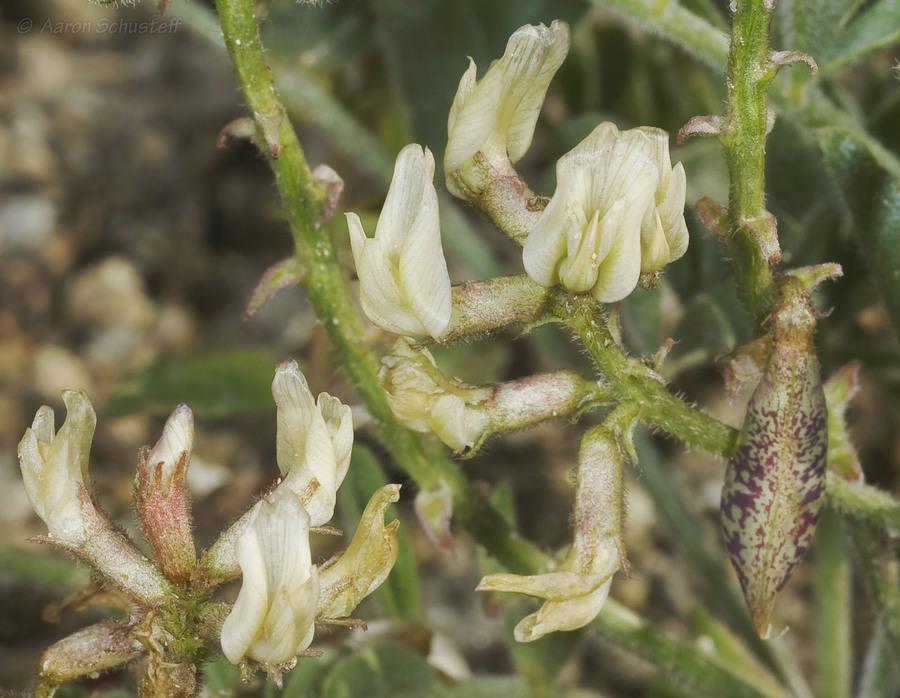 Astragalus ertterae