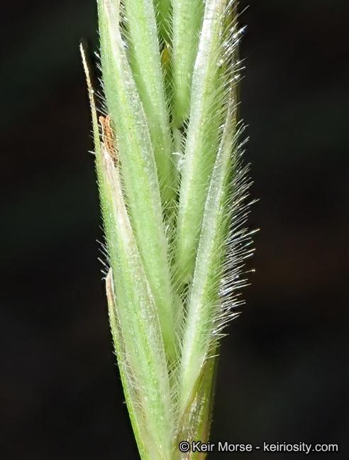 Bromus richardsonii