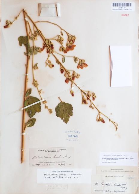 Malacothamnus parishii