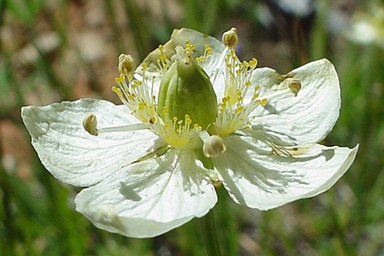 Parnassia californica