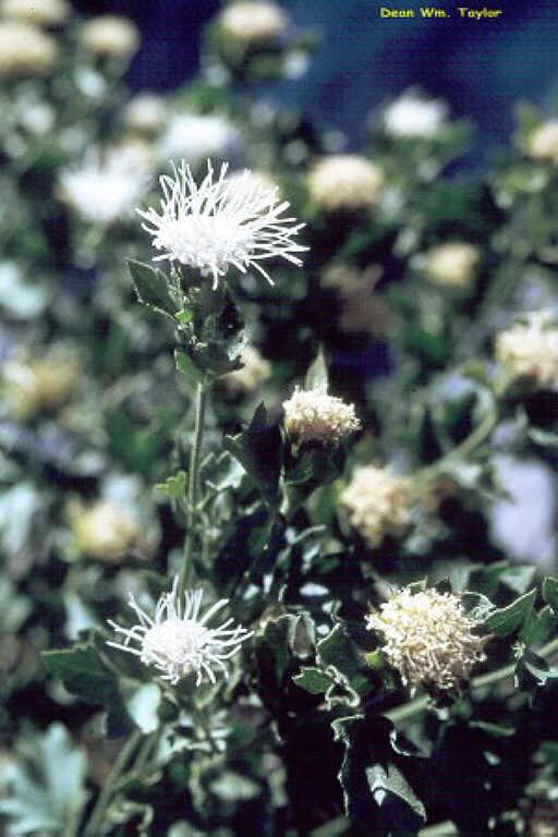 Ageratina shastensis