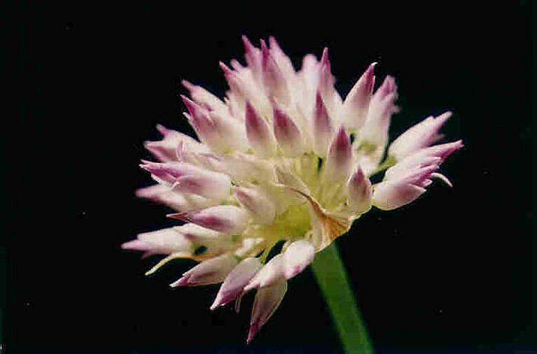 Allium sanbornii