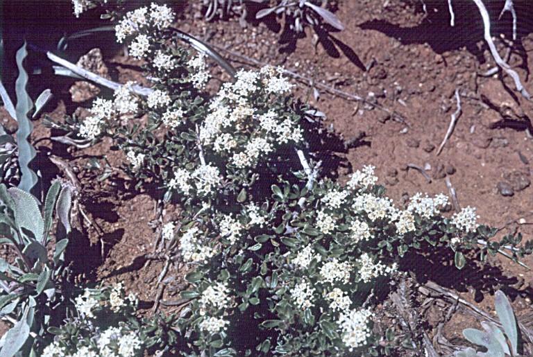 Ceanothus roderickii image