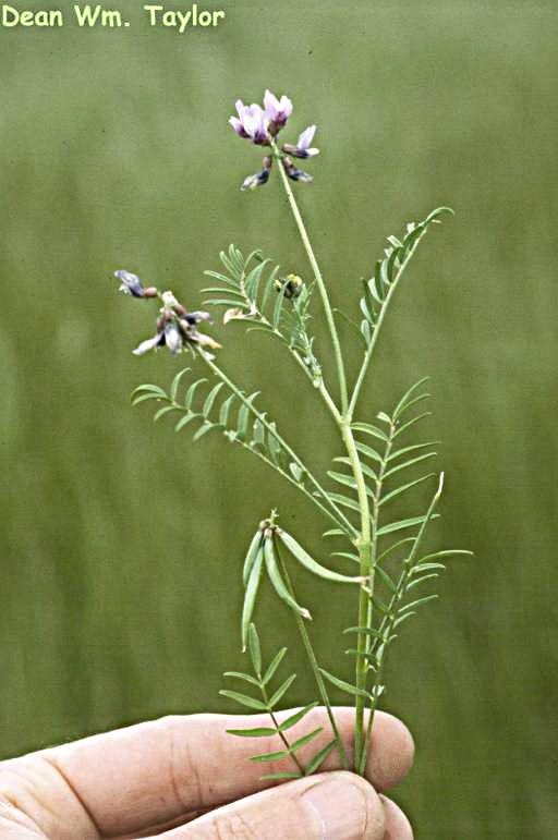 Astragalus tener