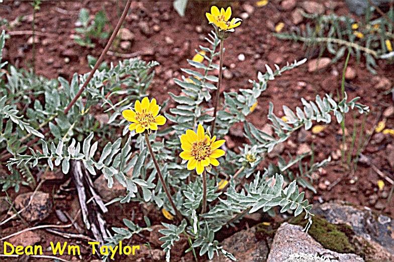 Balsamorhiza macrolepis var. macrolepis