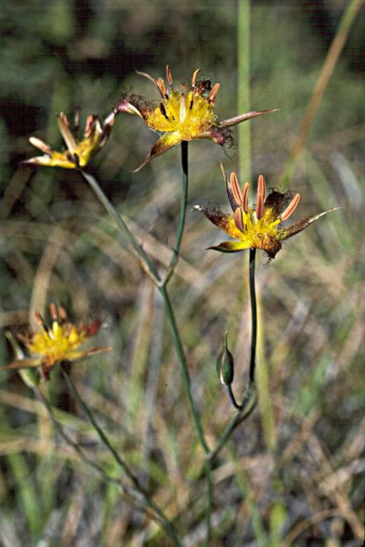 Calochortus obispoensis