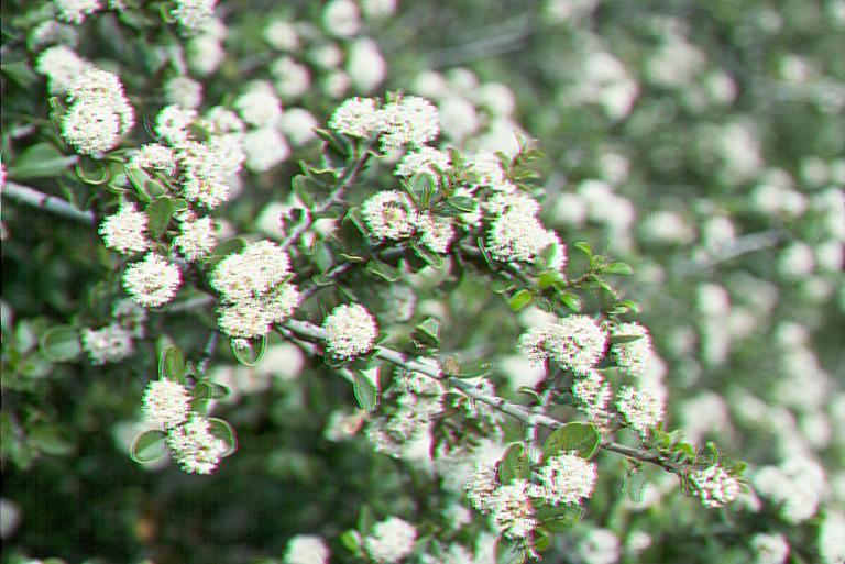 Ceanothus ferrisiae image