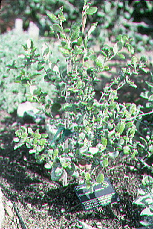 Cercocarpus traskiae image