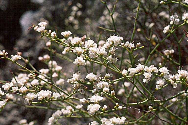 Eriogonum heermannii var. occidentale