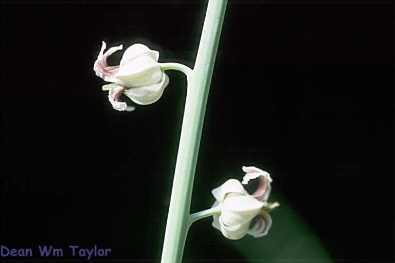 Streptanthus glandulosus ssp. albidus