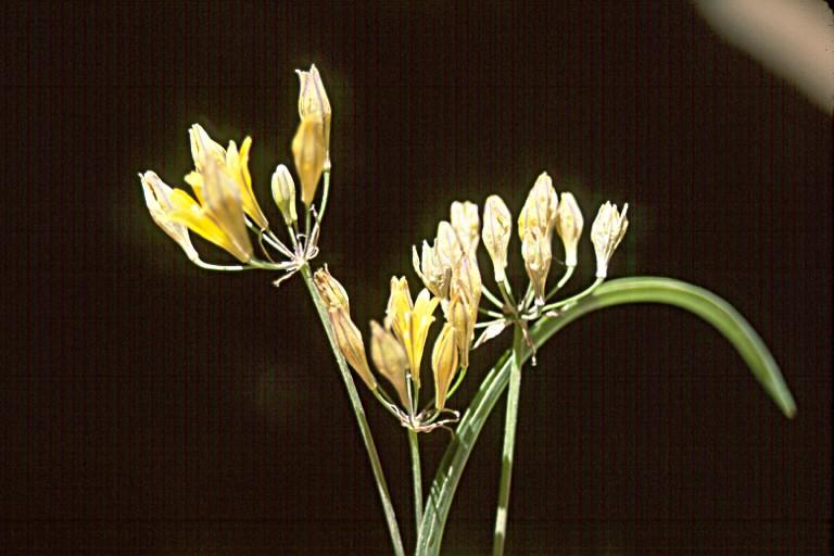 Brodiaea crocea image