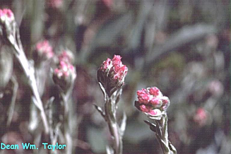 Antennaria rosea ssp. rosea