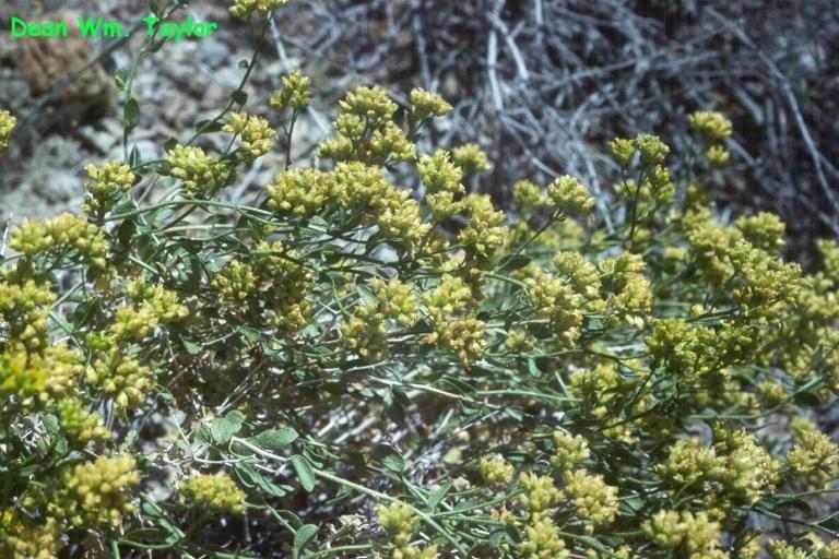 Acamptopappus sphaerocephalus var. hirtellus