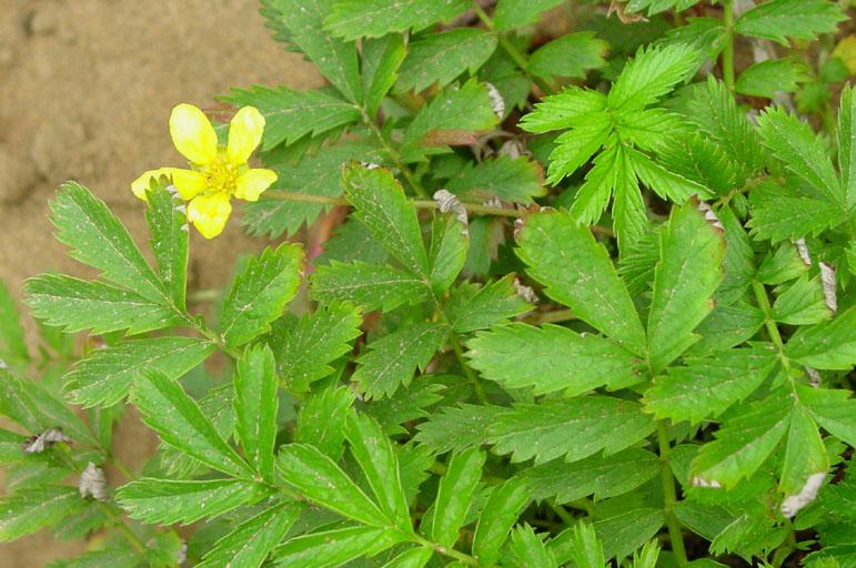 Potentilla anserina ssp. anserina