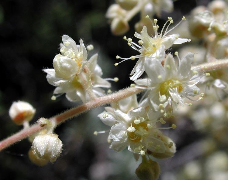 Holodiscus microphyllus var. microphyllus