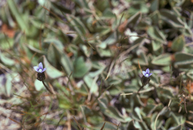 Gentianella tenella ssp. tenella
