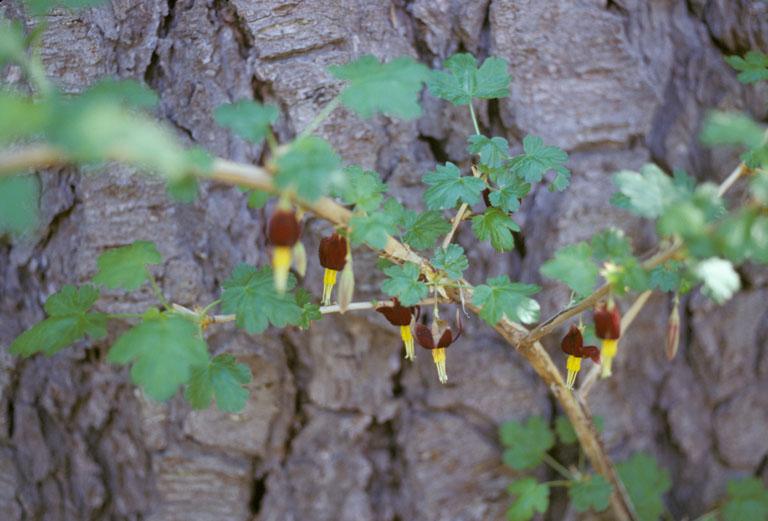 Ribes marshallii
