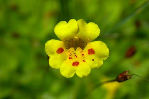 Mimulus primuloides ssp. primuloides