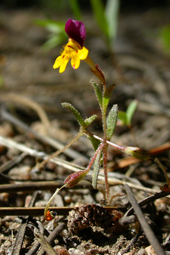Mimulus montioides