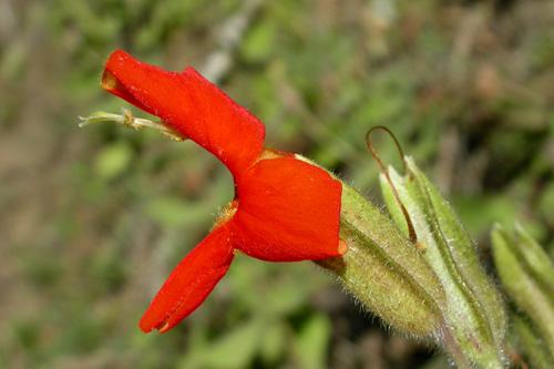 Mimulus cardinalis