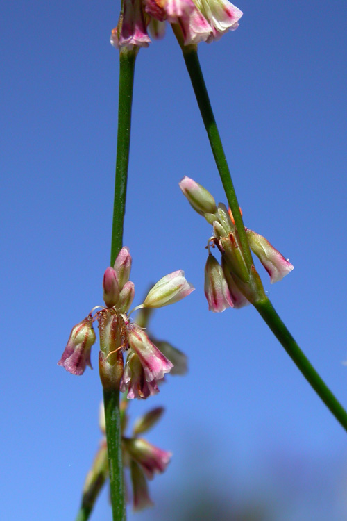 Eriogonum davidsonii