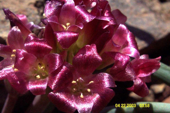 Allium shevockii