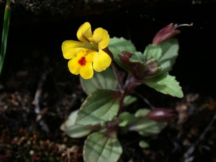 Erythranthe alsinoides