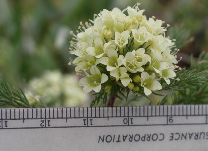 Navarretia cotulifolia