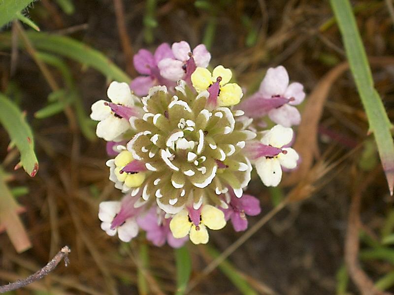 Castilleja ambigua ssp. insalutata