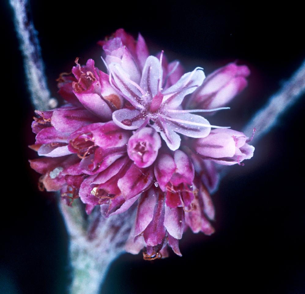 Eriogonum truncatum