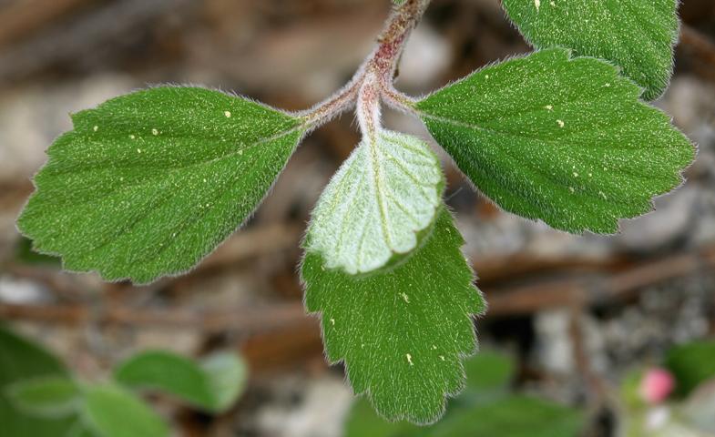 Jamesia americana var. rosea
