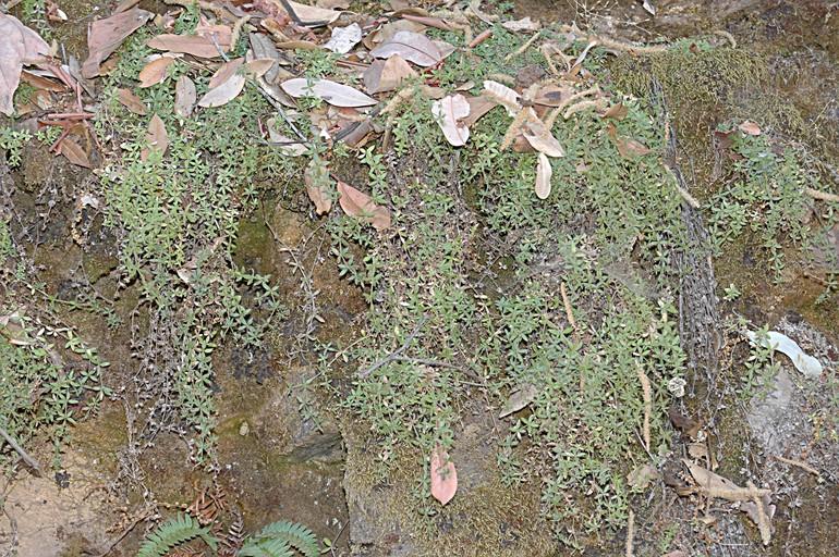 Galium californicum ssp. luciense